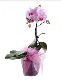1 dal pembe orkide saksı çiçeği  Manisa internetten çiçek satışı