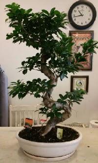 100 cm yüksekliğinde dev bonsai japon ağacı  Manisa cicek , cicekci