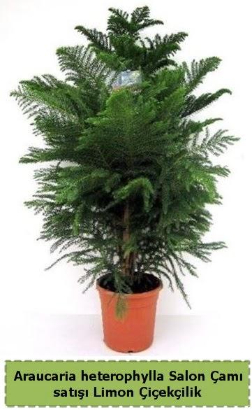 Salon Çamı Satışı Araucaria heterophylla  Manisa hediye sevgilime hediye çiçek