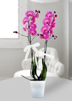 Çift dallı mor orkide  Manisa online çiçekçi , çiçek siparişi