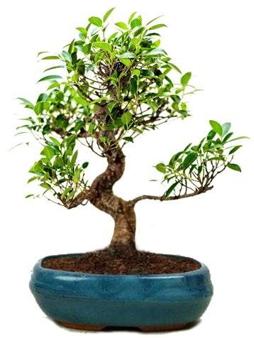 25 cm ile 30 cm aralığında Ficus S bonsai  Manisa cicekciler , cicek siparisi