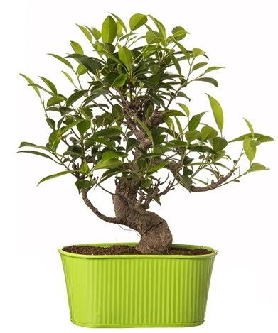 Ficus S gövdeli muhteşem bonsai  Manisa güvenli kaliteli hızlı çiçek