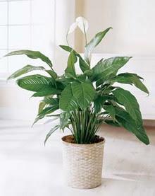 Manisa çiçek gönderme sitemiz güvenlidir  spatilyum ithal büyük boy