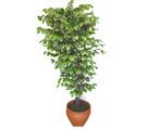 Ficus özel Starlight 1,75 cm   Manisa çiçek yolla
