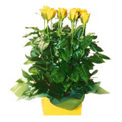 11 adet sari gül aranjmani  Manisa çiçek siparişi vermek