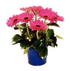 vazo içerisinde gerbera çiçekleri   Manisa çiçek gönderme sitemiz güvenlidir