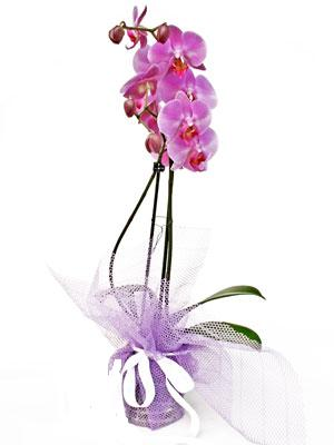 Manisa çiçek , çiçekçi , çiçekçilik  Kaliteli ithal saksida orkide