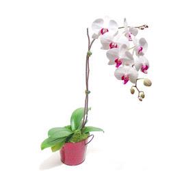 Manisa 14 şubat sevgililer günü çiçek  Saksida orkide