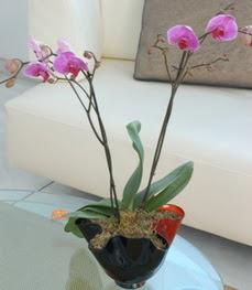 Manisa kaliteli taze ve ucuz çiçekler  tek dal ikili orkide saksi çiçegi