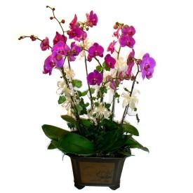 Manisa çiçek yolla  4 adet orkide çiçegi