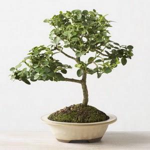 ithal bonsai saksi çiçegi  Manisa hediye çiçek yolla