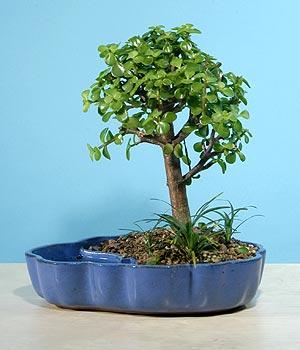 ithal bonsai saksi çiçegi  Manisa online çiçekçi , çiçek siparişi