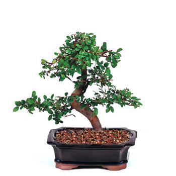 ithal bonsai saksi çiçegi  Manisa İnternetten çiçek siparişi