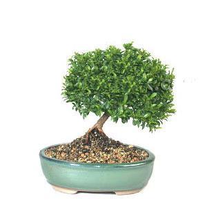 ithal bonsai saksi çiçegi  Manisa çiçek gönderme