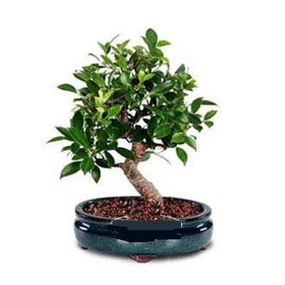ithal bonsai saksi çiçegi  Manisa güvenli kaliteli hızlı çiçek