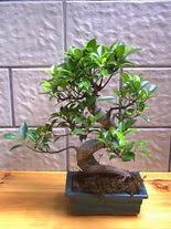ithal bonsai saksi çiçegi  Manisa ucuz çiçek gönder