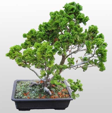 ithal bonsai saksi çiçegi  Manisa cicek , cicekci