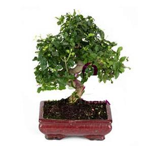 ithal bonsai saksi çiçegi  Manisa çiçek , çiçekçi , çiçekçilik