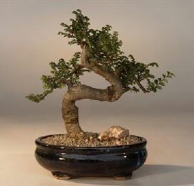 ithal bonsai saksi çiçegi  Manisa çiçek satışı