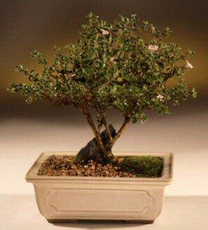 ithal bonsai saksi çiçegi  Manisa çiçek siparişi sitesi