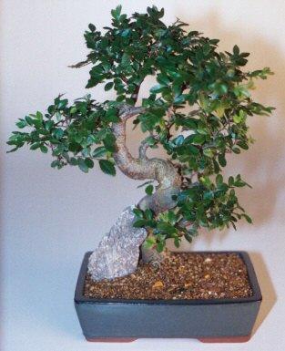 Manisa cicekciler , cicek siparisi  ithal bonsai saksi çiçegi  Manisa güvenli kaliteli hızlı çiçek