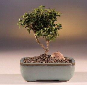 Manisa uluslararası çiçek gönderme  ithal bonsai saksi çiçegi  Manisa yurtiçi ve yurtdışı çiçek siparişi