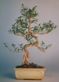 Manisa hediye sevgilime hediye çiçek  ithal bonsai saksi çiçegi  Manisa İnternetten çiçek siparişi