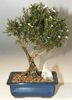 Manisa çiçek online çiçek siparişi  ithal bonsai saksi çiçegi  Manisa çiçek gönderme sitemiz güvenlidir