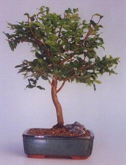 Manisa çiçek servisi , çiçekçi adresleri  ithal bonsai saksi çiçegi  Manisa çiçek , çiçekçi , çiçekçilik