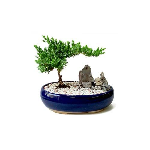 ithal bonsai saksi çiçegi  Manisa 14 şubat sevgililer günü çiçek