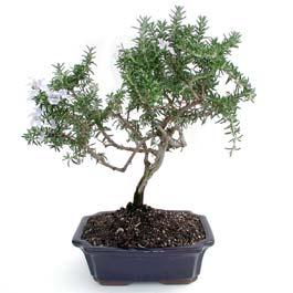 ithal bonsai saksi çiçegi  Manisa anneler günü çiçek yolla
