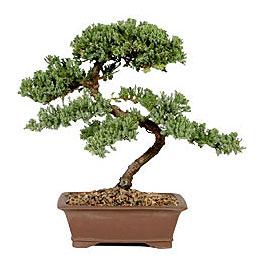 ithal bonsai saksi çiçegi  Manisa cicekciler , cicek siparisi