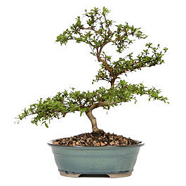 Manisa cicek , cicekci  ithal bonsai saksi çiçegi  Manisa cicekciler , cicek siparisi