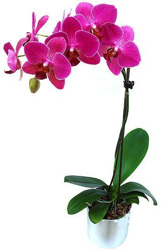 Manisa kaliteli taze ve ucuz çiçekler  saksi orkide çiçegi