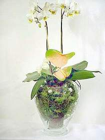 Manisa hediye sevgilime hediye çiçek  Cam yada mika vazoda özel orkideler