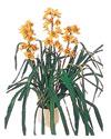 Manisa online çiçekçi , çiçek siparişi  Orchiede ithal büyük boy saksi