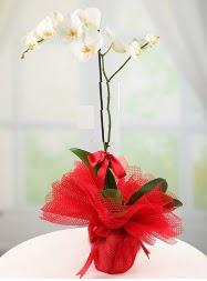 1 dal beyaz orkide saksı çiçeği  Manisa internetten çiçek siparişi