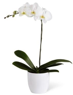1 dallı beyaz orkide  Manisa çiçek satışı