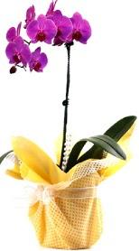 Manisa güvenli kaliteli hızlı çiçek  Tek dal mor orkide saksı çiçeği