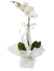 1 dal beyaz orkide çiçeği  Manisa İnternetten çiçek siparişi