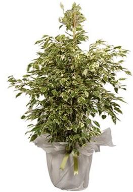 Orta boy alaca benjamin bitkisi  Manisa yurtiçi ve yurtdışı çiçek siparişi