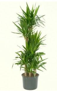 7 li yucca saksı bitkisi  Manisa çiçekçi mağazası
