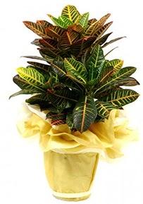 Orta boy kraton saksı çiçeği  Manisa çiçek satışı