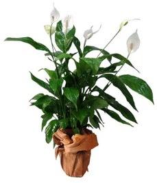 Orta boy barış çiçeği limon çiçeği  Manisa çiçek yolla , çiçek gönder , çiçekçi