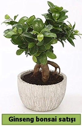 Ginseng bonsai japon ağacı satışı  Manisa anneler günü çiçek yolla