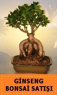 Ginseng bonsai satışı japon ağacı  Manisa çiçek yolla
