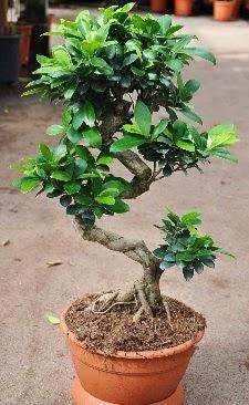 Orta boy bonsai saksı bitkisi  Manisa çiçek yolla , çiçek gönder , çiçekçi
