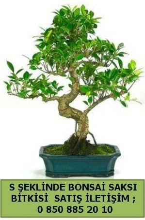 İthal S şeklinde dal eğriliği bonsai satışı  Manisa 14 şubat sevgililer günü çiçek