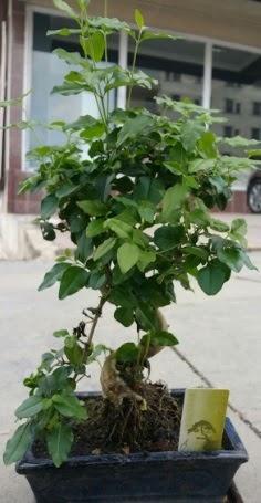 Bonsai japon ağacı saksı bitkisi  Manisa İnternetten çiçek siparişi