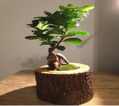 Doğal kütükte Bonsai japon ağacı satışı  Manisa yurtiçi ve yurtdışı çiçek siparişi